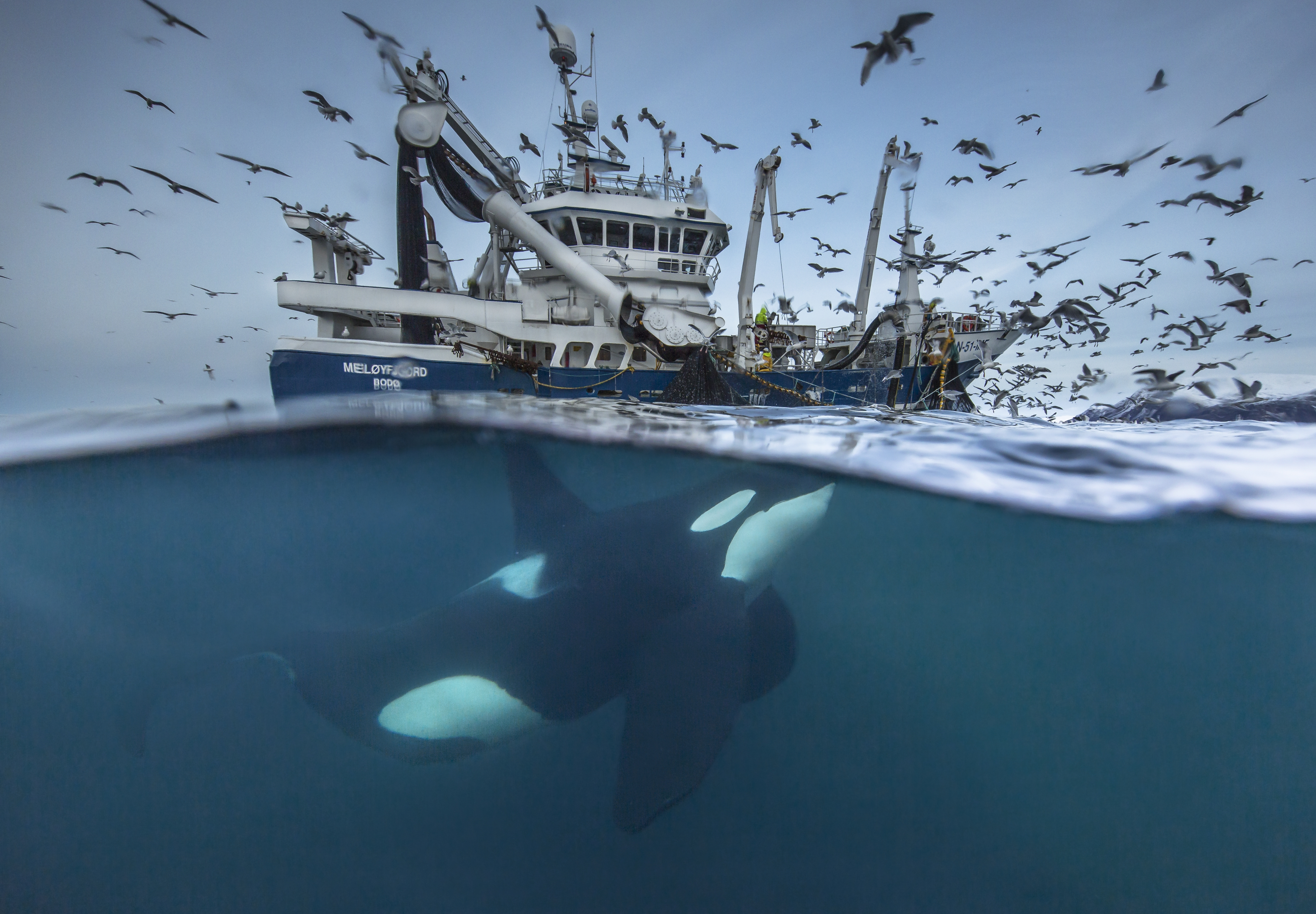 Geteilter Fang (Splitting the catch), Copyright Audun Rikardsen / Wildlife Photographer of the Year